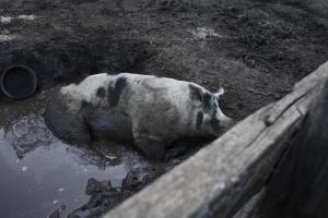 The Cute BIg Pig