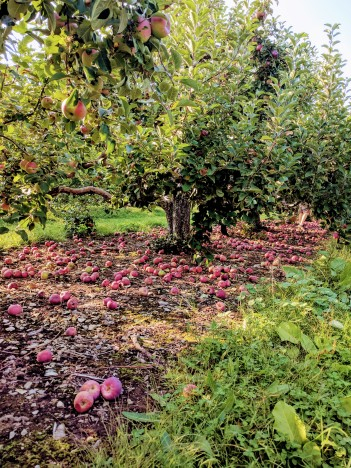 Apple Picking in NewHampshire